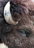 American bison head.