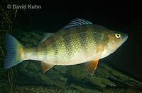1123-1006  Yellow Perch (Shortform Perch or Lake Perch), Perca flavescens  © David Kuhn/Dwight Kuhn Photography