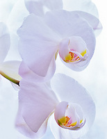 Orchid (Dawn Hunter X Blanca Grande) (Orglade X Polar Dome)