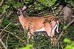 White-tailed deer buck growing new antlers - look closely you will see velvert covered horn through the leaves.
