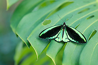 Beautiful Male Cairns Birdwing Butterfly perched on a leaf