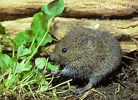 MU30-250z   Meadow Vole - eating leaves - Microtus pennsylvanicus