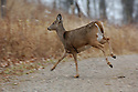 00275-195.15 White-tailed Deer (DIGITAL) doe is bounding across road during fall.  Auto, collision, rut.  H4L1