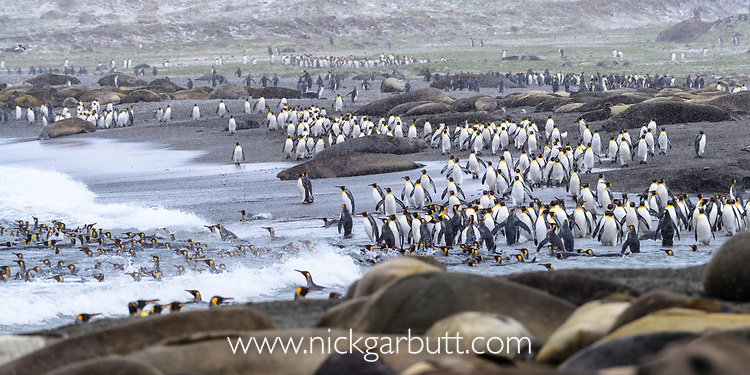 Large numbers of king penguins (Aptenodytes patagonicus) returning to the sea, with out of focus male elephant seal (Mirounga leonina). St Andrews Bay, South Georgia, South Atlantic.