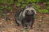 Marderhund, Marder-Hund, Enok, Seefuchs, Nyctereutes procyonoides, raccoon dog, Chien viverrin