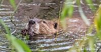 2017-09-11_Urban Wildlife_Beaver