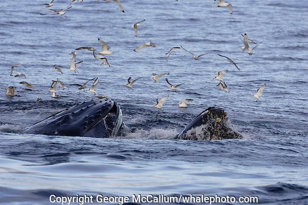Humpback whales Megaptera novaeangliae bubble net feeding on Capelin and krill Spitzbergen Arctic Norway Kittywakes and Fulmars feeding alongside