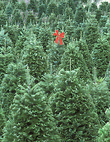 F00109M.tiff Grand fir Christmas trees with red bow on one. Near Alpine, Oregon