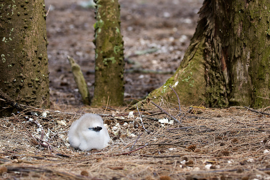 red-tailed tropicbird chick