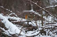 Rotkehlchen, sucht im Winter bei Schnee auf einem Ästehaufen, Reisighaufen Schutz vor der Witterung, Erithacus rubecula, robin