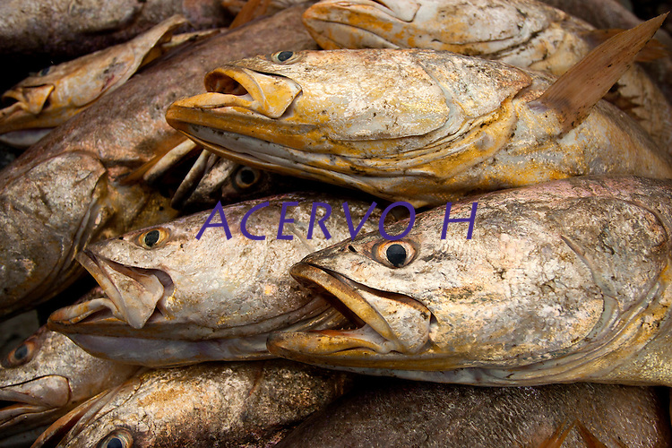 Peixes da espécie Corvina capturados no curral (armadinha fixa no solo e construída com varas e arames onde os peixes são aprisionados na preamar e removidos na maré vazante) são organizados, após a despesca, para o transporte até a embarcação. A pesca é realizada nas proximidades da praia de Paxicú na Reserva Extrativista Marinha Mãe Grande localizada no litoral do Pará, na foz do rio Amazonas.<br /> Curuça, Pará, Brasil.<br /> Foto: Paulo Santos<br /> 18/02/2011