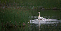 Trumpeter Swan family @ Anchorage's Potter Marsh baby cygnets on a calm day