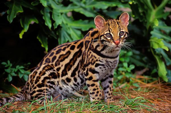 OCELOT. Southwestern USA & south.through much of South America..(Felis pardalis).