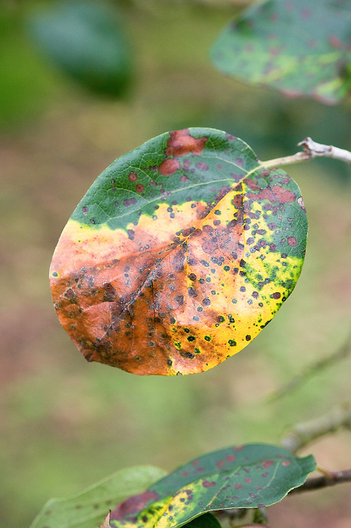 Quince leaf blight (Diplocarpon mespili) is a form of fungal leaf spot. Red-brown spots appear on leaves, which turn yellow, wither, and die. Fruits may also be stunted or distorted.