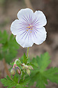 Geranium himalayense 'Derrick Cook', mid May.