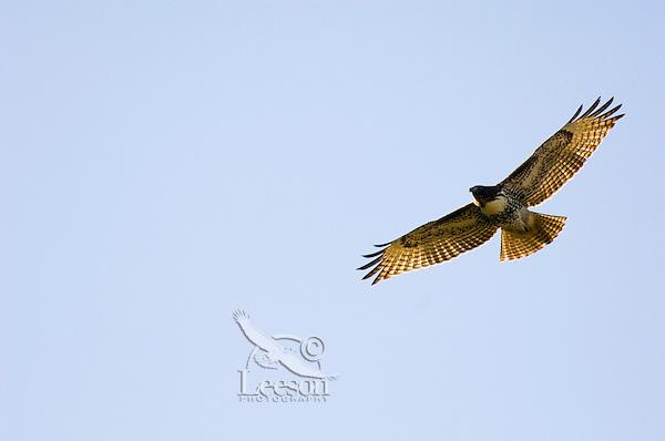 Red-tailed Hawk (Buteo jamaicensis) immature.  Western U.S., fall.