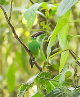 Crimson-rumped toucanet, Aulacorhynchus haematopygus. Refugio Paz de las Aves, Ecuador