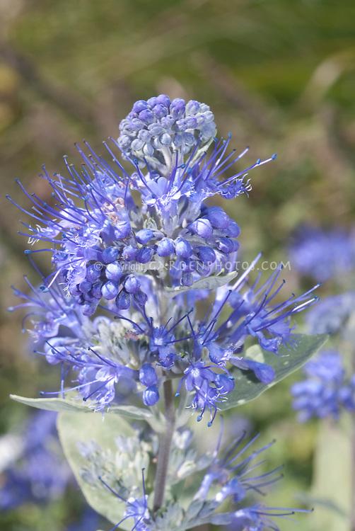 Caryopteris blue flowers