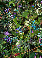 Colofrful wild Porcelain-berries, Ampelopsis brevipedunculata, Massachusetts, USA