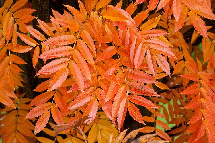 Japanese rowan tree (Sorbus commixta), end October.