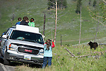 Black Bear (Ursus americanus) being watched by tourists. Yellowstone National Park, Wyoming, USA. June.