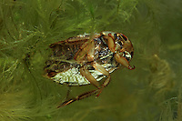 Schwimmwanze, Schwimm-Wanze, Wasserwanze, Ilyocoris cimicoides, Naucoris cimicoides, Schwimmwanzen, saucer bug, saucer-bug, creeping water bug, creeping water bugs