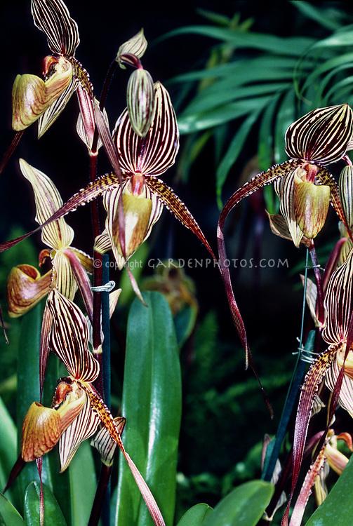 Orchid hybrid: Paphiopedilum Saint Swithin, very early primary hybrid cross of philippinense x rothschildianum, 1901.