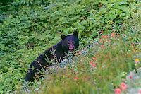 Black Bear (Ursus americanus) among subalpine wildflowers (mostly paintbrush). Pacific Northwest, summer.