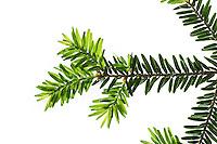 Kanadische Hemlocktanne, Kanadische Schierlingstanne, Tsuga canadensis, eastern hemlock, eastern hemlock-spruce, Canadian hemlock, La Pruche du Canada, Pruche de l'Est