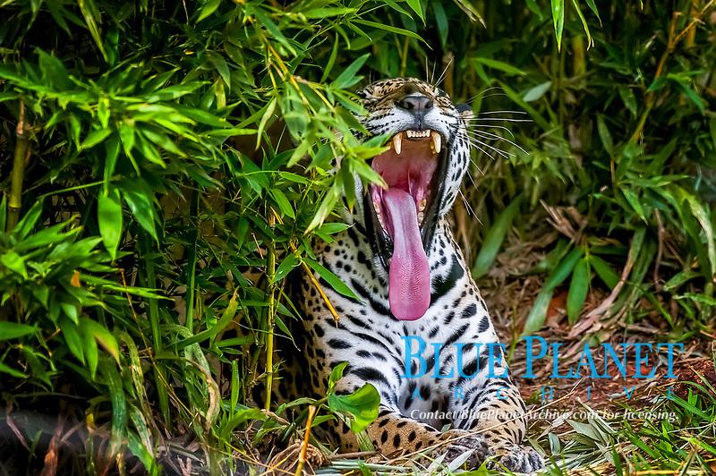 jaguar, Panthera onca, yawning, Espirito Santo, Brazil