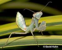 "0718-07rr  Wide armed mantis - Cilnia humeralis ""Nymph"" © David Kuhn/Dwight Kuhn Photography"