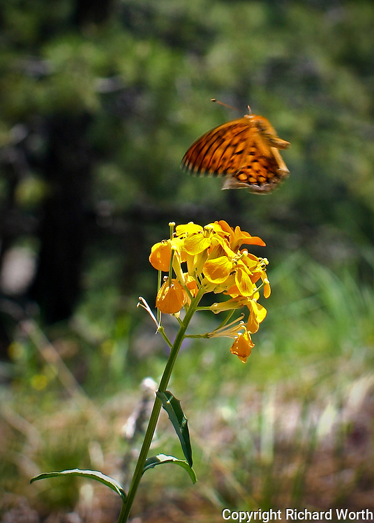 Just enough blur to convey the wings in motion as this butterfly comes in for a landing.