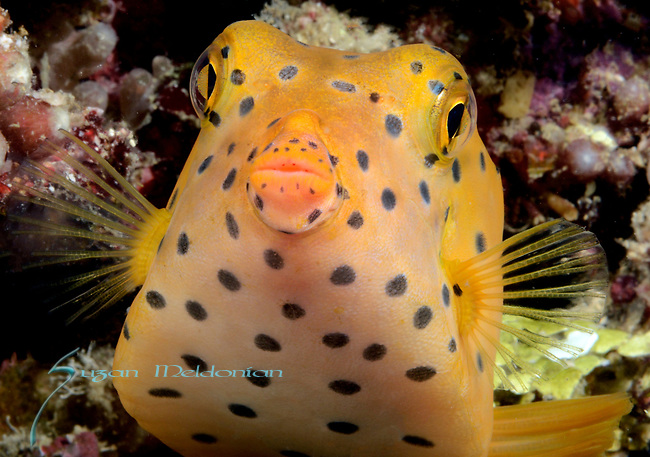 yellow boxfish (Ostracion cubicus),Visayas, Philippines 2017