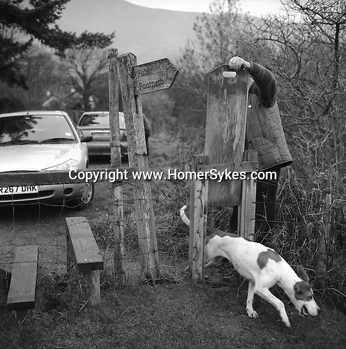 The Blencathra Foxhounds.  A hound finds its way back to the pack. Near Braithwaite, Cumbria.