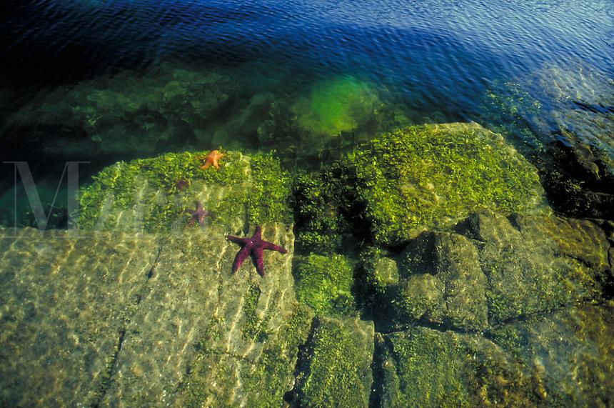 starfish clings to rock below the water's surface. Scotty Cove. Gulf Island, inter tidal zone, sea life, marine life, water. British Columbia Canada Lasquetti Island.