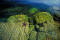 starfish clings to rock below the water's surface. Scotty Cove. Gulf Island, inter tidal zone, sea life, marine life, water. British Columbia Canada Lasquetti Island.