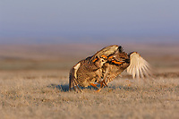 Aggressive encounter between two male Greater Prairie-Chickens (Tympanachus cupido) on a lek. During aggressive encounters males lower their pinnae feathers, deflate their air sacs, leap into the air, and strike their opponent with feet, wings, and beak. Ft. Pierre National Grassland, South Dakota. April.