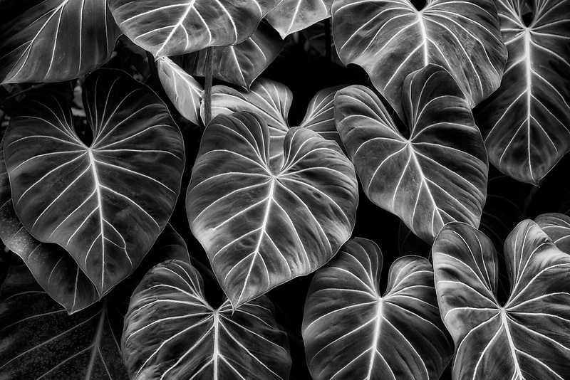 Tropical Leaves. Princeville Botanical Gardens. Kauai, Hawaii