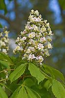 Gewöhnliche Rosskastanie, Ross-Kastanie, Kastanie, Aesculus hippocastanum, Horse Chestnut