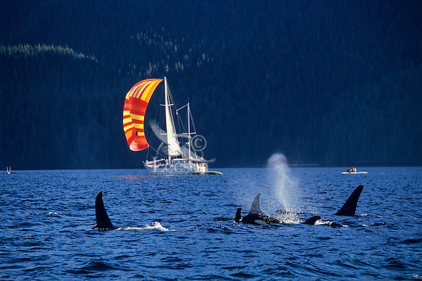 Orca Whale or Killer Whale (Orcinus orca) with sailboat