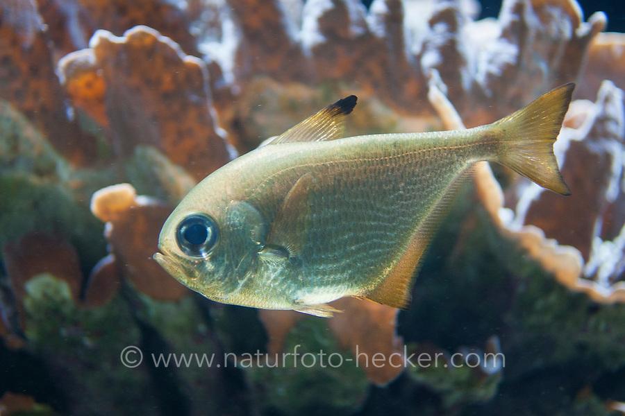 Beilbauchfisch, Beilfisch, Beilbauch-Fisch, Pempheris spec., Beilbauchfische, Pempheridae, Sweepers, Sweeper