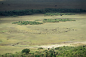 Maasai Mara, Kenya. Wildebeest (Connochaetes taurinus, gnu) herd on the plains.