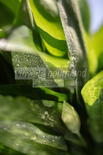 Gastronomie Générale: Ail des ours -  // Gastronomy: Allium ursinum