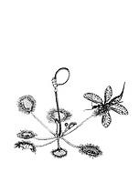 Kameelhalsvlieg sp. (Rhaphidia notata) op Ronde zonnedauw (Drosera rotundifolia)