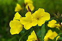 Evening primrose (Oenothera 'Crown Imperial'), end June.