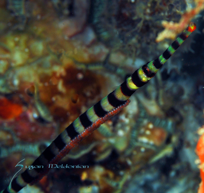 Brown Banded Pipefish w Eggs , Corythoichthys amplexus, Lembeh Straits, Sulawesi Sea, Indonesia, Amazing Underwater Photography
