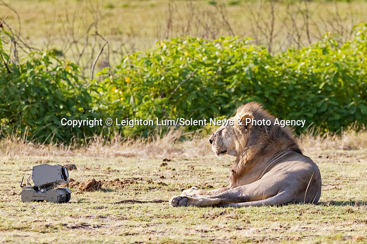 """Pictured: An inquisitive lioness appears to be taking a selfie.<br /> <br /> A curious young lioness plays with a camera after discovering it attached to a remote controlled vehicle.   Swiping at it with her large paws, she treats it like a domestic cat might a mouse.<br /> <br /> The pictures were taken in the Masai Mara National Reserve in Kenya, by photographer Leighton Lum who had originally hoped to get shots of the pride's 'majestic' male. The 32 year old said: """"I was trying to photograph the big male lion sitting nice and majestic, when the curious young female decided to come and investigate.   SEE OUR COPY FOR DETAILS<br /> <br /> Please byline: Leighton Lum/Solent News<br /> <br /> © Leighton Lum/Solent News & Photo Agency<br /> UK +44 (0) 2380 458800"""