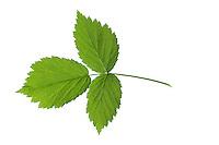 Wilde Himbeere, Himbeer-Ranken, Rubus idaeus, Raspberry, Rasp-berry, La framboise. Blatt, Blätter, leaf, leaves