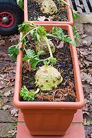 Apium graveolens var. rapaceum - Celeriac unusual vegetable growing in runner box container pots planter in winter