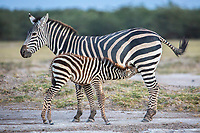A zebra and her foal are photographed in Amboseli National Park in Kenya.  01/24/2017 IFAW/Julia Cumes